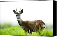 Roe Deer Canvas Prints - Roe Deer 2 Canvas Print by Don Hooper