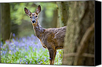 Roe Deer Canvas Prints - Roe Deer Canvas Print by Don Hooper