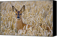 Wild Special Promotions - Roe Deer In Wheat Field Canvas Print by Don Hooper