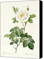 Redoute; Pierre Joseph (1759-1840) Canvas Prints - Rosa Alba flore pleno Canvas Print by Pierre Joseph Redoute