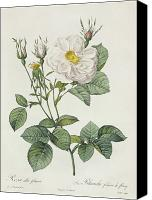 Redoute; Pierre Joseph (1759-1840) Canvas Prints - Rosa Alba Foliacea Canvas Print by Pierre Joseph Redoute
