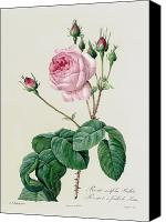 Botanical Engraving Canvas Prints - Rosa Centifolia Bullata Canvas Print by Pierre Joseph Redoute