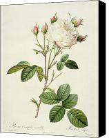 Flowers Drawings Canvas Prints - Rosa Centifolia Mutabilis Canvas Print by Pierre Joseph Redoute