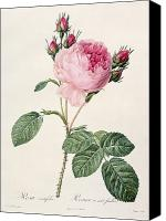 Color Drawings Canvas Prints - Rosa Centifolia Canvas Print by Pierre Joseph Redoute