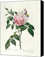 Redoute; Pierre Joseph (1759-1840) Canvas Prints - Rosa chinensis and Rosa gigantea Canvas Print by Joseph Pierre Redoute