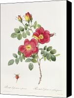 Horticultural Canvas Prints - Rosa Eglantera Punicea Canvas Print by Pierre Joseph Redoute