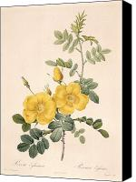 Redoute; Pierre Joseph (1759-1840) Canvas Prints - Rosa Eglanteria Canvas Print by Pierre Joseph Redoute