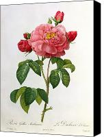 Botanical Engraving Canvas Prints - Rosa Gallica Aurelianensis Canvas Print by Pierre Joseph Redoute