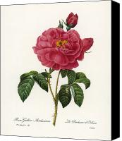 1833 Canvas Prints - Rosa Gallica Canvas Print by Granger