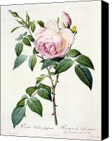 Botanical Engraving Canvas Prints - Rosa Indica Fragrans Canvas Print by Pierre Joseph Redoute