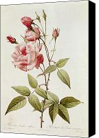 Rose Flower Canvas Prints - Rosa Indica Vulgaris Canvas Print by Pierre Joseph Redoute