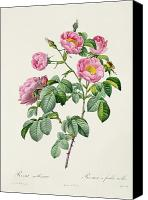 Redoute; Pierre Joseph (1759-1840) Canvas Prints - Rosa Mollissima Canvas Print by Claude Antoine Thory