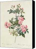 Color Drawings Canvas Prints - Rosa Multiflora Carnea Canvas Print by Pierre Joseph Redoute