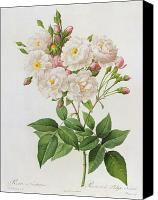 Horticultural Canvas Prints - Rosa Noisettiana Canvas Print by Pierre Joseph Redoute