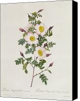 Floral Drawings Canvas Prints - Rosa Pimpinelli Folia Inermis Canvas Print by Pierre Joseph Redoute