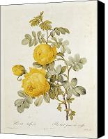 Flowers Drawings Canvas Prints - Rosa Sulfurea Canvas Print by Pierre Redoute