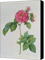 Turbinata Canvas Prints - Rosa Turbinata Canvas Print by Pierre Joseph Redoute