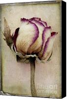 Rose Flower Canvas Prints - Rose 2 Canvas Print by Marion Galt