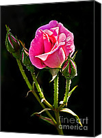 Rose Photography Canvas Prints - Rose and Buds Canvas Print by Robert Bales