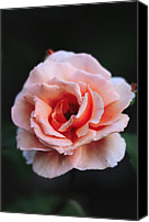 Joey Canvas Prints - Rose (rosa just Joey) Canvas Print by Colin Varndell