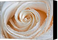White Rose Canvas Prints - Rose Swirls Canvas Print by Susan Candelario