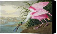 Bank Canvas Prints - Roseate Spoonbill Canvas Print by John James Audubon