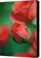 Flower Photos Canvas Prints - Rosebud  Canvas Print by Kathy Yates