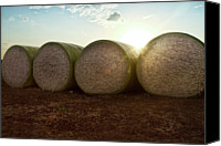 Israel Canvas Prints - Round Bales Of Picked Cotton Canvas Print by Avi Morag photography