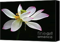 Lotus Bud Canvas Prints - Royal Lotus Canvas Print by Sabrina L Ryan
