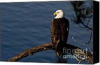 Bald Eagle Canvas Prints - Royalty Canvas Print by Reflective Moments  Photography and Digital Art Images