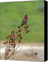 Male Hummingbird Canvas Prints - Ruby Canvas Print by Donna Blackhall