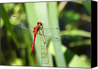Meadowhawk Canvas Prints - Ruby Meadowhawk Dragonfly Canvas Print by Laurel Talabere