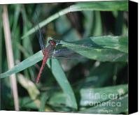 Meadowhawk Canvas Prints - Ruby Meadowhawk Dragonfly on Blade of Grass Canvas Print by Susan Stevens Crosby