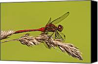 Meadowhawk Canvas Prints - Ruby Meadowhawk Canvas Print by Jeremy Martin