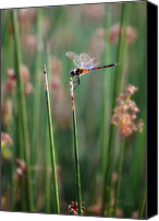 Meadowhawk Canvas Prints - Ruby Meadowhawk Canvas Print by Kimberly Chason