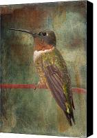 Male Hummingbird Canvas Prints - Ruby Throated Hummingbird Canvas Print by Bonnie Barry