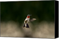 Ruby Throated Canvas Prints - Ruby Throated Hummingbird Canvas Print by DansPhotoArt on flickr
