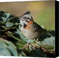Singing Canvas Prints - Rufous-collard Sparrow Canvas Print by Nina Stavlund