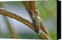 Male Hummingbird Canvas Prints - Rufous Hummming Bird in Detail II Canvas Print by Laura Mountainspring