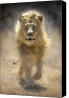 Lion Canvas Prints - Running Lion Canvas Print by Stu  Porter