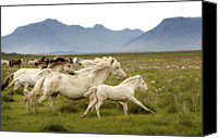 Wild Horse Canvas Prints - Running Wild In Iceland Canvas Print by Gigja Einarsdottir