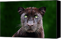 Tampa Digital Art Canvas Prints - Saber Canvas Print by Big Cat Rescue