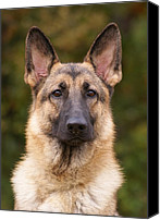 Alsatian Canvas Prints - Sable German Shepherd Dog Canvas Print by Sandy Keeton