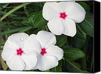 Vinca Flowers Canvas Prints - Sadaphuli - Always Flowering Canvas Print by Sonali Gangane