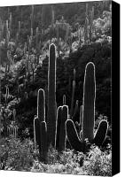 White Cacti Canvas Prints - Saguaro Backlit black and white Canvas Print by Jill Reger