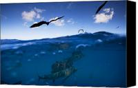 Frigate Canvas Prints - Sailfish And Frigate Birds Hunt Canvas Print by Paul Nicklen