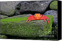 Galapagos Islands Canvas Prints - Sally Lightfoot Crab Canvas Print by Matt Tilghman
