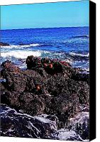 Galapagos Islands Canvas Prints - Sally Lightfoot Crabs on Basalt Canvas Print by Thomas R Fletcher