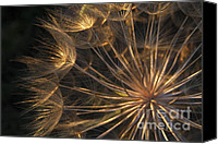 Structures Canvas Prints - Salsify Seed Head Canvas Print by Richard Garvey-Williams