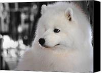Dog Photo Canvas Prints - Samoyed Canvas Print by Jai Johnson